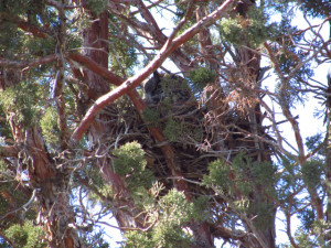 Great horned owl nest. Photo credit: David D.