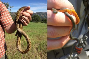 Gopher snake left; Ring-necked snake right