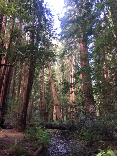"There is something captivating and special about these trees. For the botany enthusiasts, these are the coastal redwoods (Sequoia sempervirens). You will see a picture of another of the ""redwoods"" in the next section."