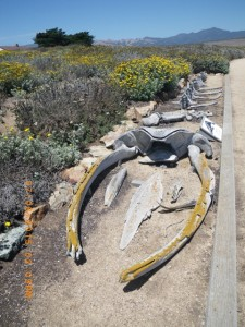 juvenile humpback whale skeleton